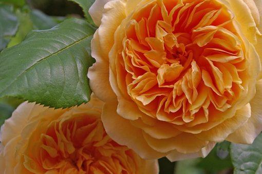 rose-818723_640